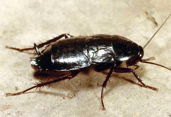 Тараканы и саранча, возможно, в будущем пригодятся человечеству в...